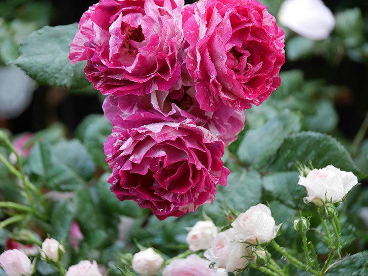 ベル・デ・セゴサ(半ツルバラ)の花が雨に負けずに咲いている。2020年-001.jpg