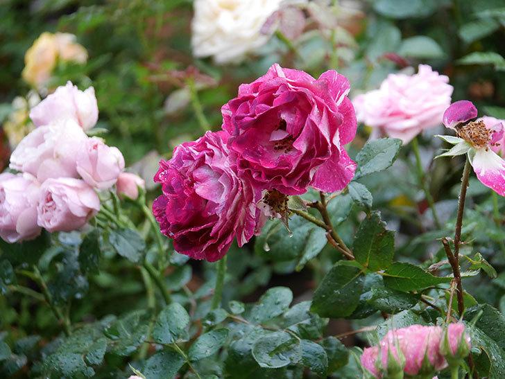 ベル・デ・セゴサ(半ツルバラ)の花が雨に負けずに咲いている。2020年-002.jpg