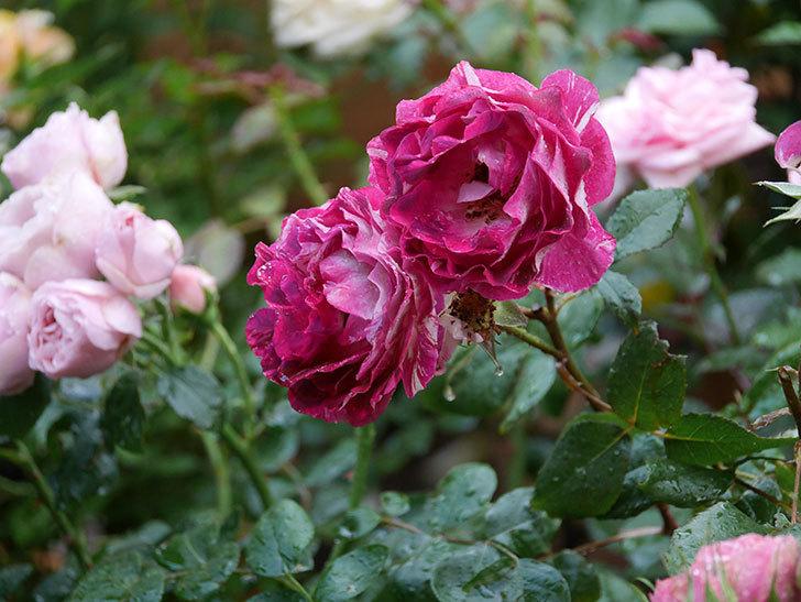 ベル・デ・セゴサ(半ツルバラ)の花が雨に負けずに咲いている。2020年-003.jpg