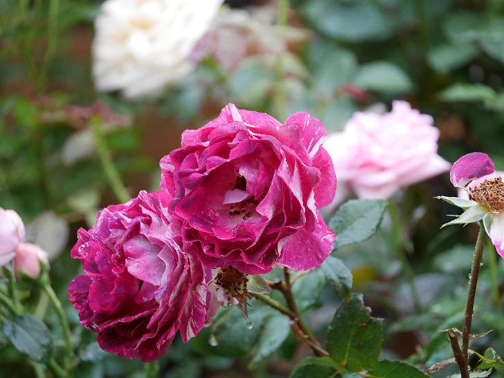 ベル・デ・セゴサ(半ツルバラ)の花が雨に負けずに咲いている。2020年-004.jpg