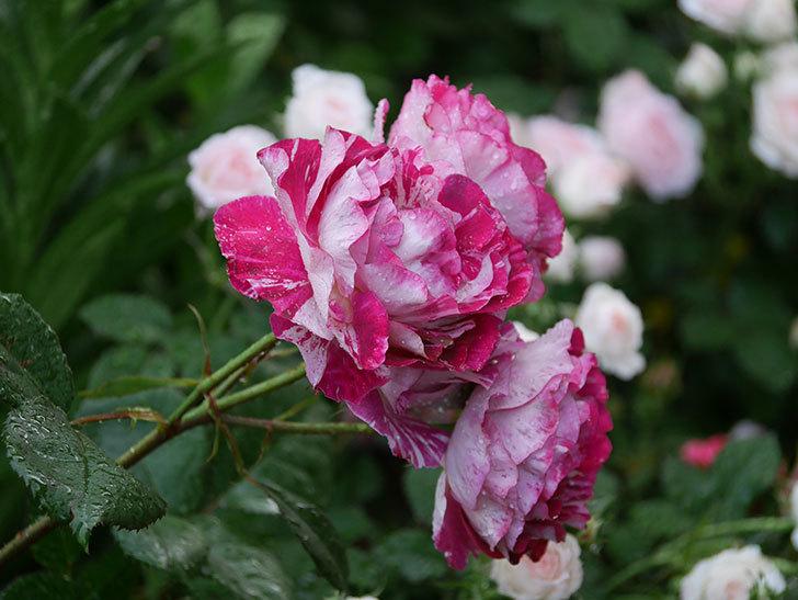 ベル・デ・セゴサ(半ツルバラ)の花が雨に負けずに咲いている。2020年-005.jpg