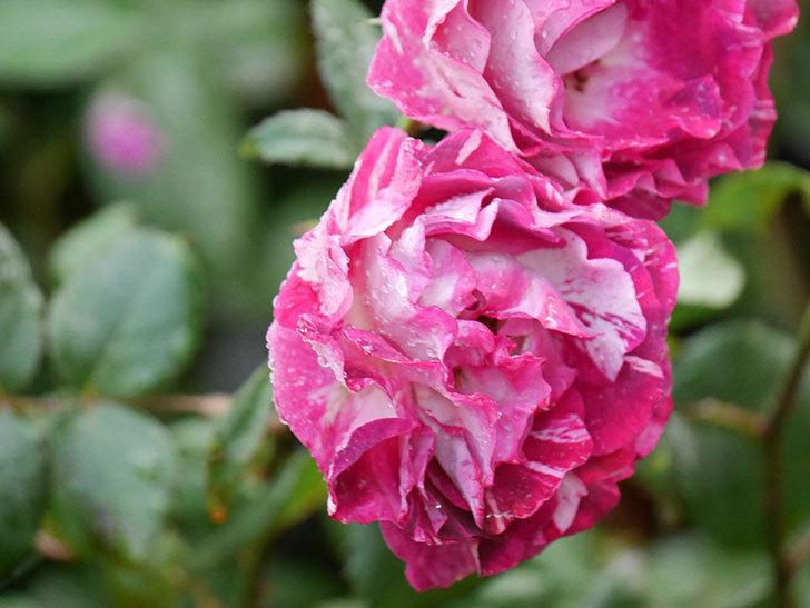 ベル・デ・セゴサ(半ツルバラ)の花が雨に負けずに咲いている。2020年-007.jpg