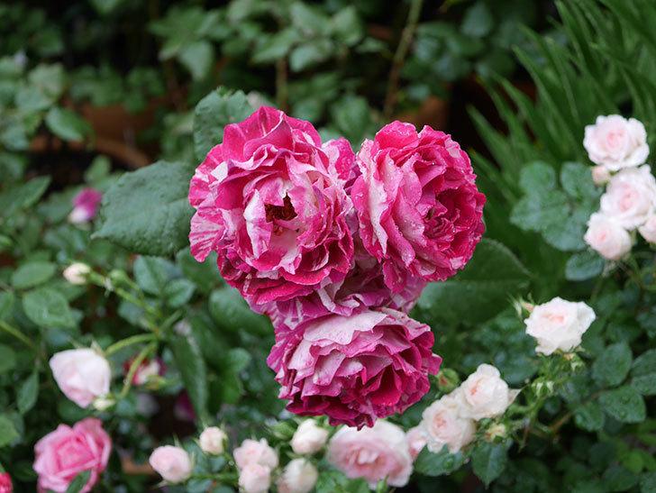 ベル・デ・セゴサ(半ツルバラ)の花が雨に負けずに咲いている。2020年-008.jpg