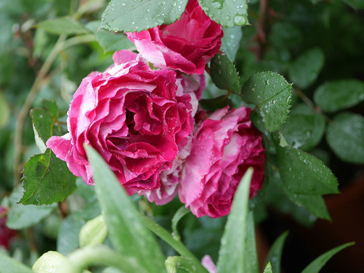 ベル・デ・セゴサ(半ツルバラ)の花が雨に負けずに咲いている。2020年-009.jpg