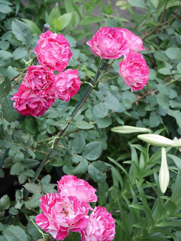 ベル・デ・セゴサ(半ツルバラ)の花が雨に負けずに咲いている。2020年-011.jpg