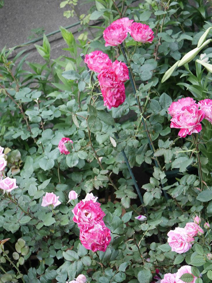 ベル・デ・セゴサ(半ツルバラ)の花が雨に負けずに咲いている。2020年-012.jpg