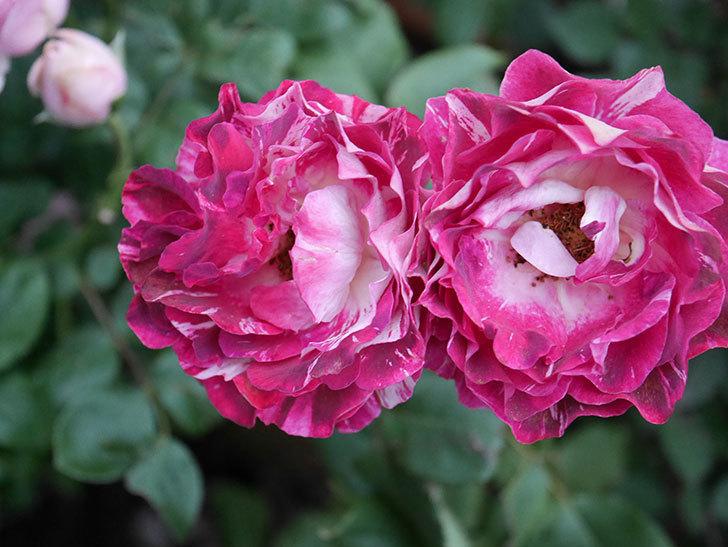 ベル・デ・セゴサ(半ツルバラ)の花が雨に負けずに咲いている。2020年-013.jpg