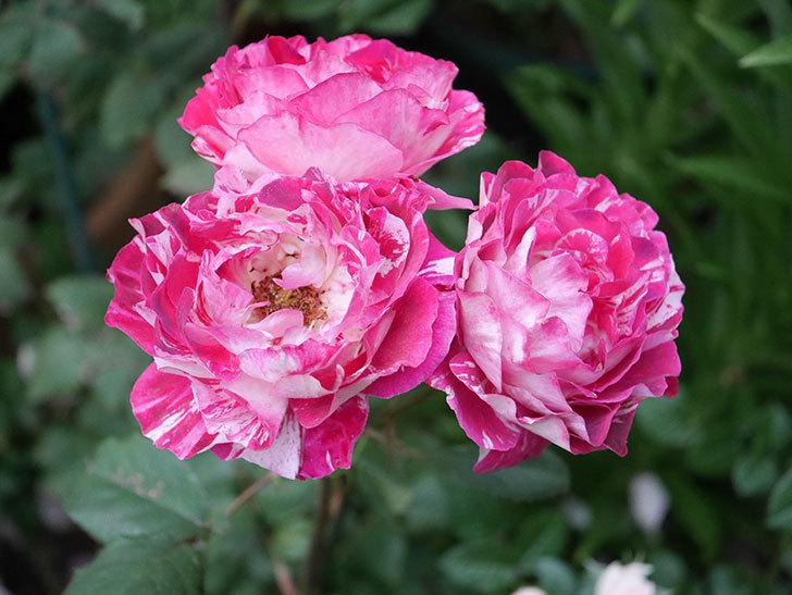 ベル・デ・セゴサ(半ツルバラ)の花が雨に負けずに咲いている。2020年-014.jpg