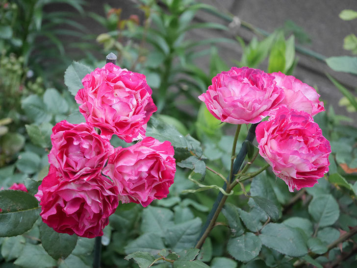ベル・デ・セゴサ(半ツルバラ)の花が雨に負けずに咲いている。2020年-015.jpg