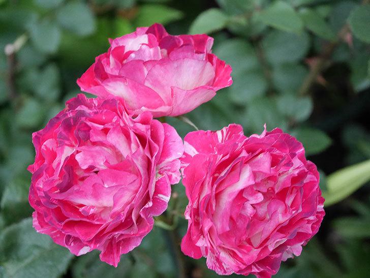 ベル・デ・セゴサ(半ツルバラ)の花が雨に負けずに咲いている。2020年-017.jpg