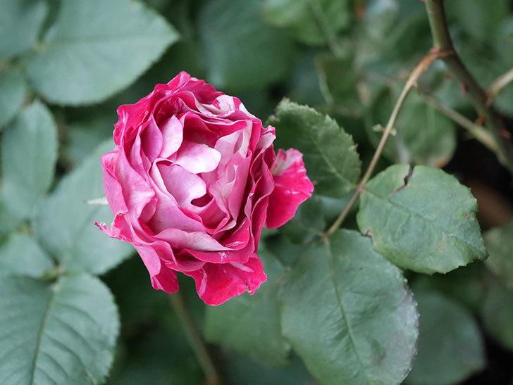 ベル・デ・セゴサ(半ツルバラ)の花が雨に負けずに咲いている。2020年-019.jpg