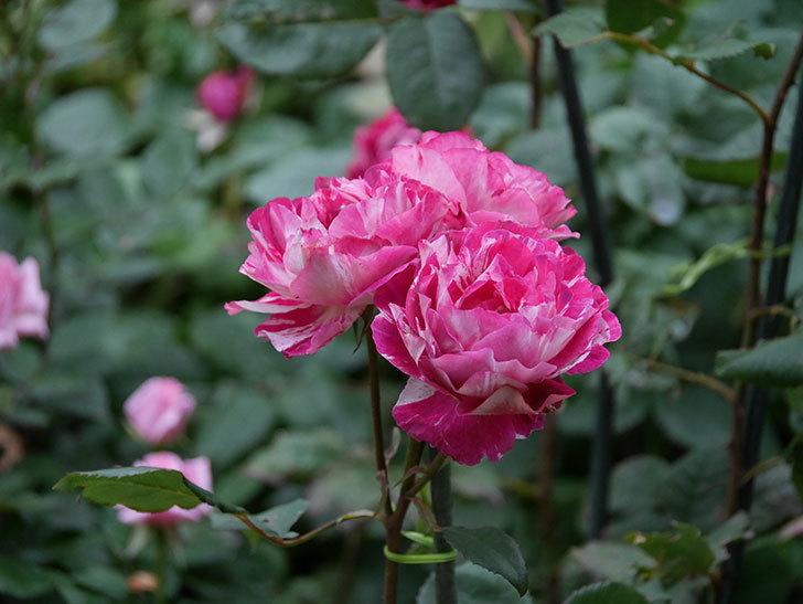 ベル・デ・セゴサ(半ツルバラ)の花が雨に負けずに咲いている。2020年-021.jpg