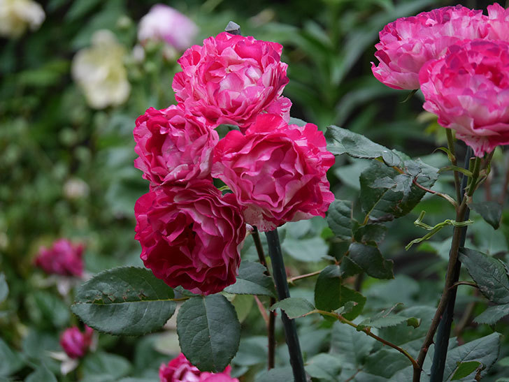 ベル・デ・セゴサ(半ツルバラ)の花が雨に負けずに咲いている。2020年-022.jpg