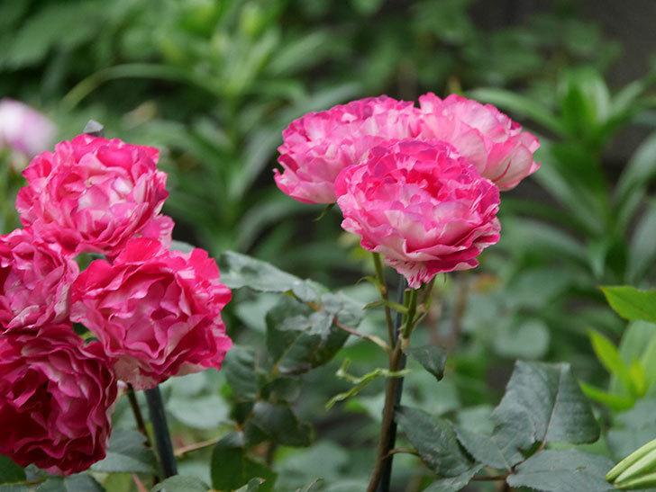 ベル・デ・セゴサ(半ツルバラ)の花が雨に負けずに咲いている。2020年-023.jpg