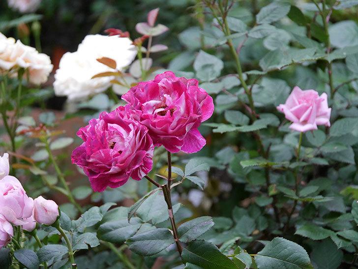 ベル・デ・セゴサ(半ツルバラ)の花が雨に負けずに咲いている。2020年-024.jpg