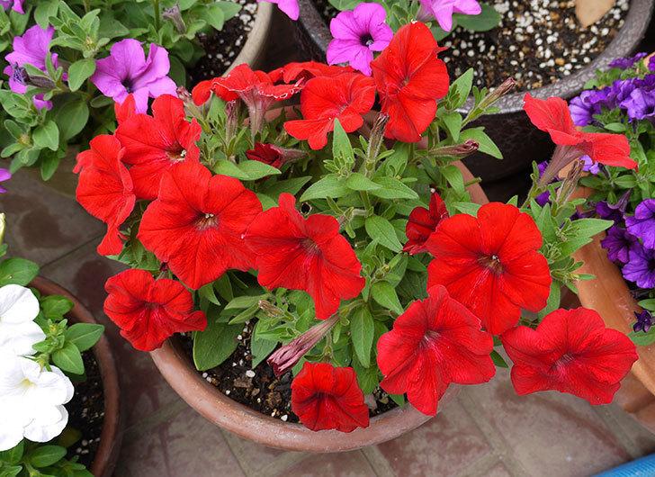 ペチュニア-エコチュニアの花がたくさん咲いた1.jpg