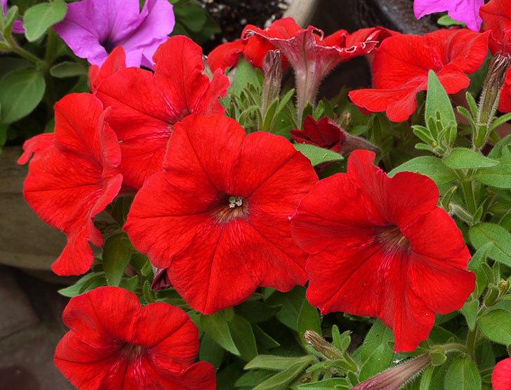 ペチュニア-エコチュニアの花がたくさん咲いた2.jpg