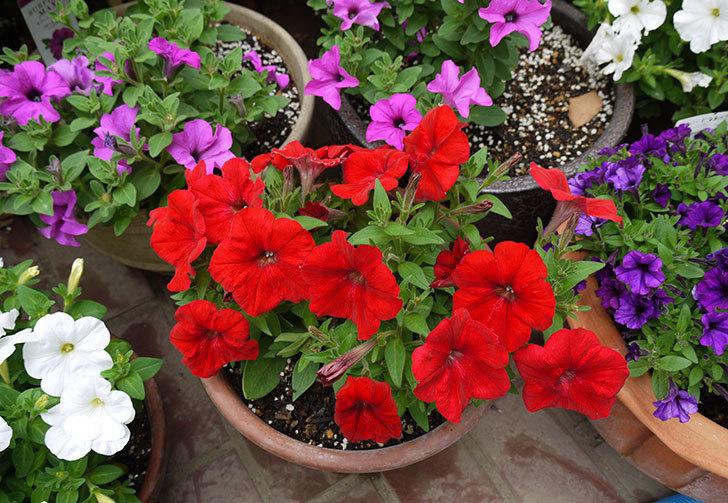 ペチュニア-エコチュニアの花がたくさん咲いた3.jpg