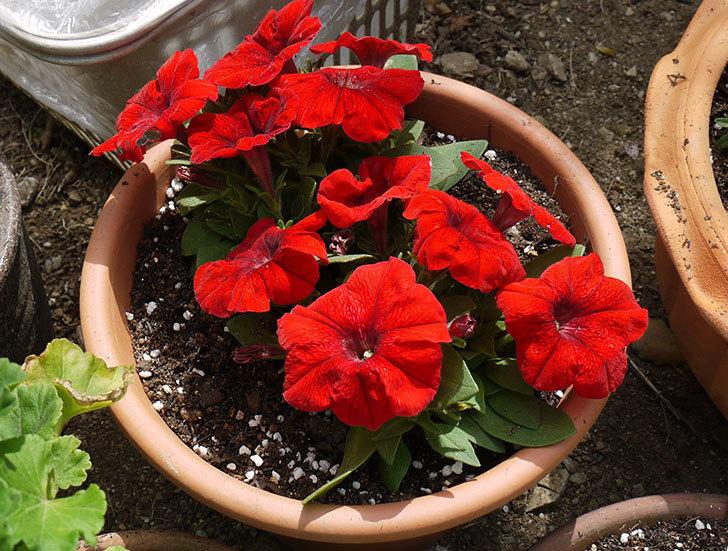 ペチュニア-エコチュニアの赤を2個を鉢に植えた1.jpg
