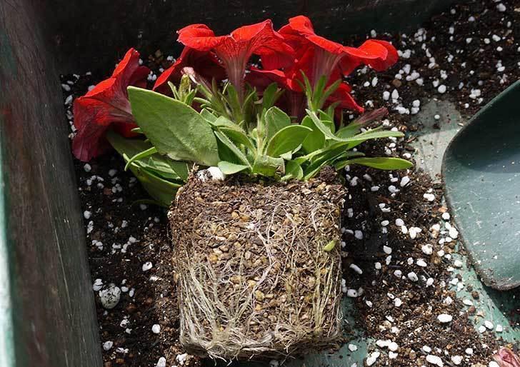 ペチュニア-エコチュニアの赤を2個を鉢に植えた2.jpg