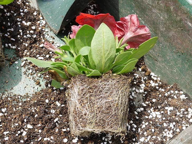 ペチュニア-エコチュニアの赤を2個を鉢に植えた3.jpg
