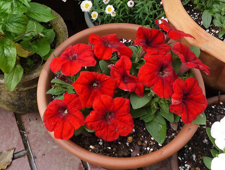 ペチュニア-エコチュニアの赤を2個を鉢に植えた5.jpg