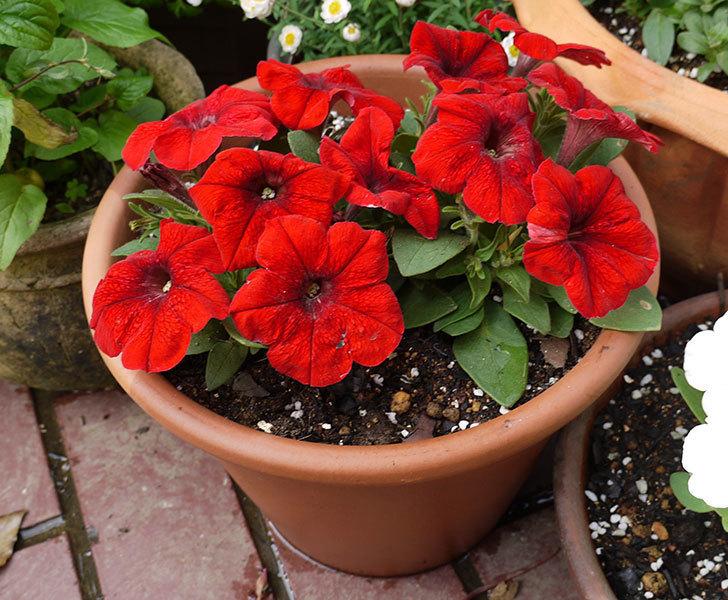 ペチュニア-エコチュニアの赤を2個を鉢に植えた6.jpg