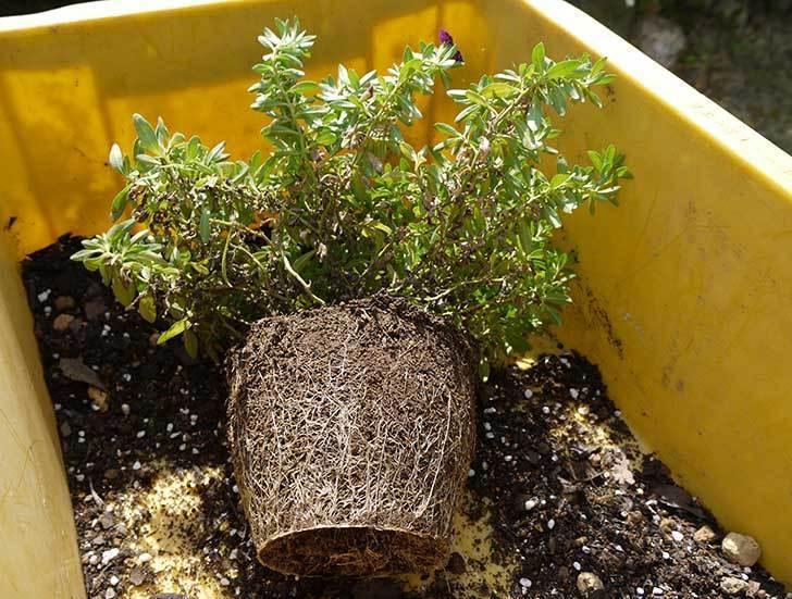 ペチュニア-カリプッチのブルーを鉢に植えた1.jpg