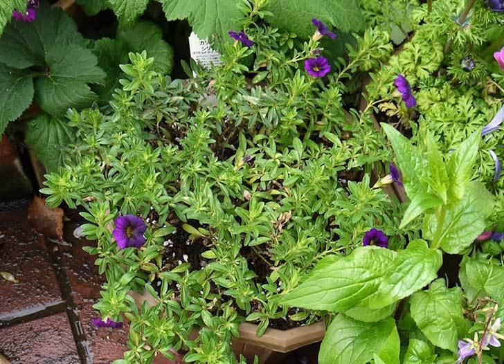 ペチュニア-カリプッチのブルーを鉢に植えた5.jpg