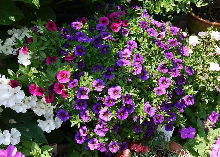 ペチュニア-カリプッチの花がたくさん咲いた1.jpg