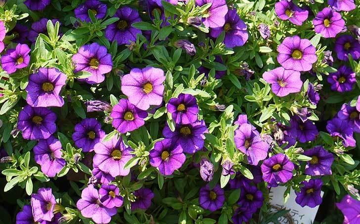 ペチュニア-カリプッチの花がたくさん咲いた2.jpg