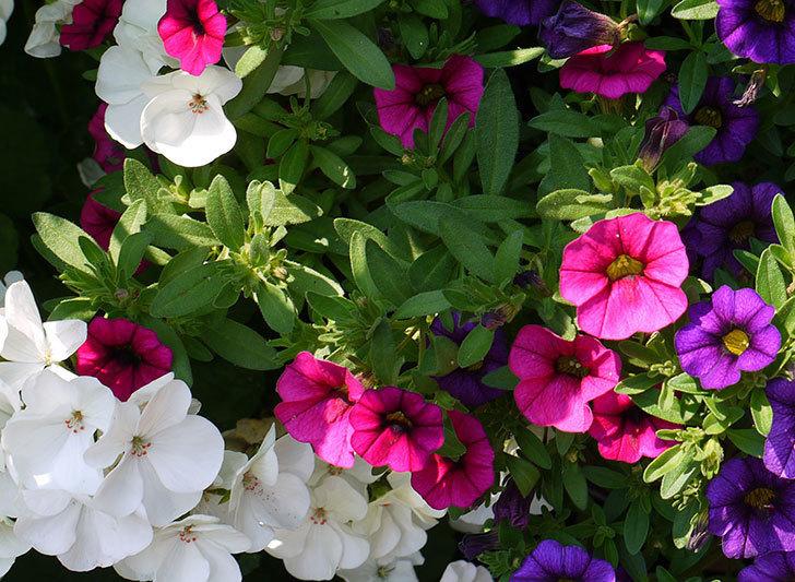 ペチュニア-カリプッチの花がたくさん咲いた3.jpg