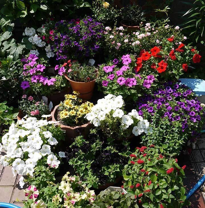 ペチュニア-カリプッチの花がたくさん咲いた4.jpg