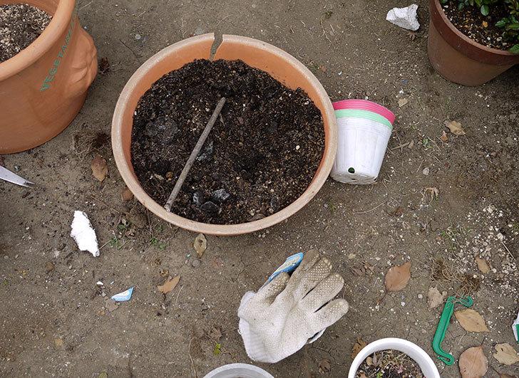 ペチュニア-ダブルカスケードを鉢に植えた3.jpg