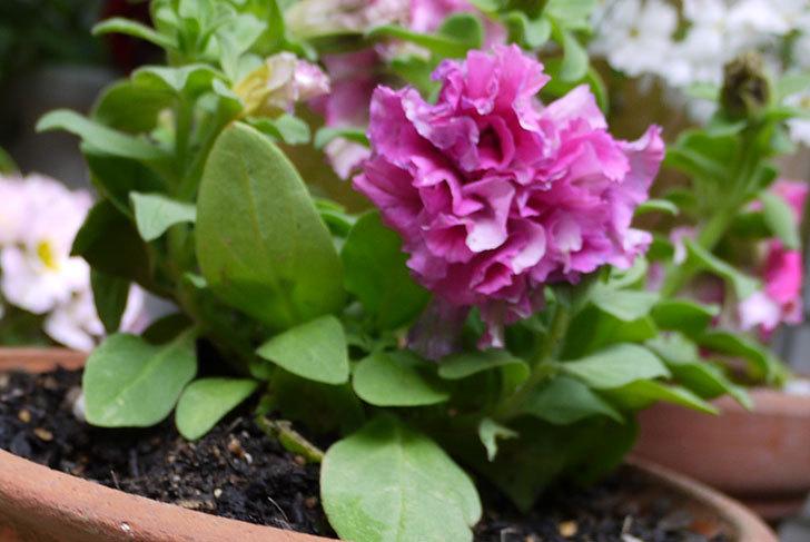 ペチュニア-ダブルカスケードを鉢に植えた7.jpg