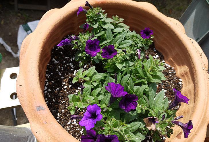 ペチュニア-ピクニックのバイオレットを鉢に植えた1.jpg