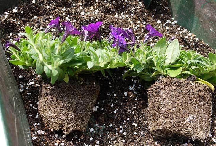 ペチュニア-ピクニックのバイオレットを鉢に植えた2.jpg