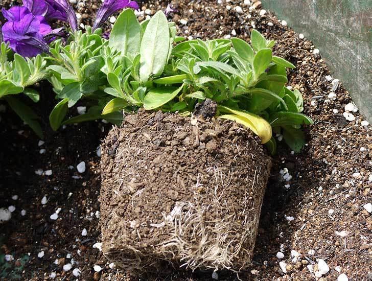 ペチュニア-ピクニックのバイオレットを鉢に植えた3.jpg