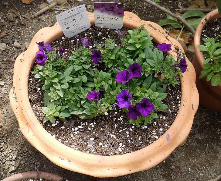 ペチュニア-ピクニックのバイオレットを鉢に植えた4.jpg