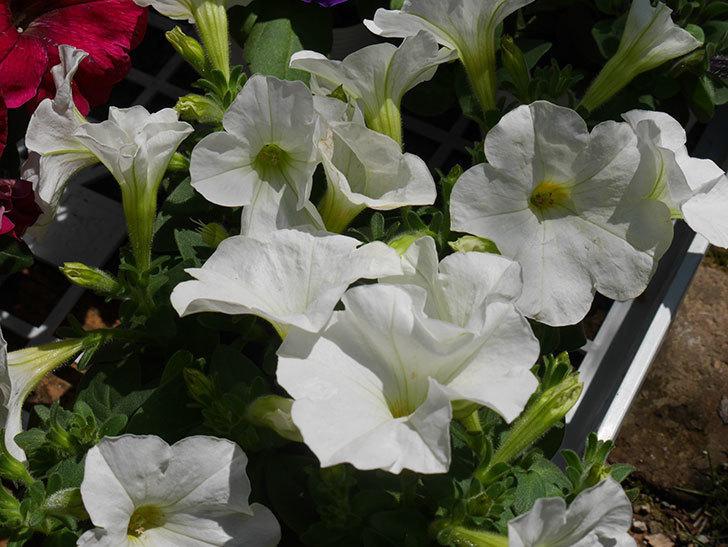 ペチュニアの苗をホームズで8個買って来た。2021年-005.jpg