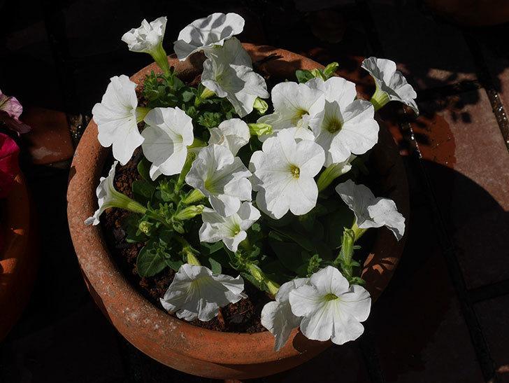 ペチュニアの苗をホームズで8個買って来た。2021年-017.jpg