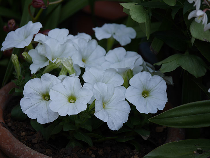 ペチュニアの苗をホームズで8個買って来た。2021年-031.jpg