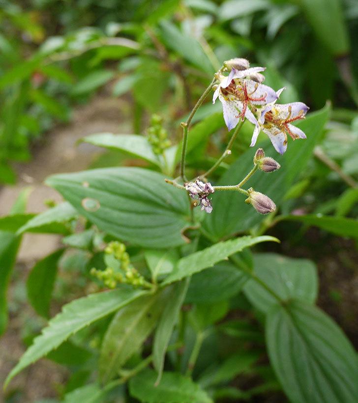 ホトトギスが咲いた。2016年-1.jpg