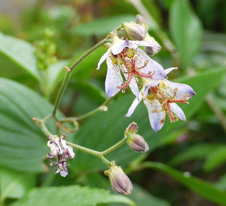 ホトトギスが咲いた。2016年-3.jpg