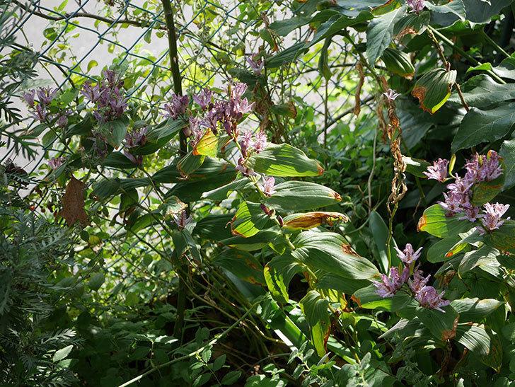ホトトギスが咲いた。2020年-015.jpg