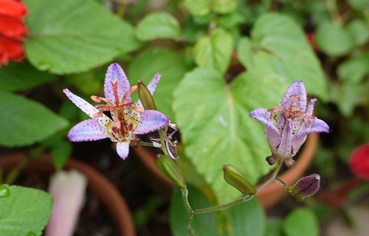 ホトトギスの花が咲いた。2015年-1.jpg