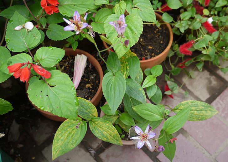 ホトトギスの花が咲いた。2015年-3.jpg