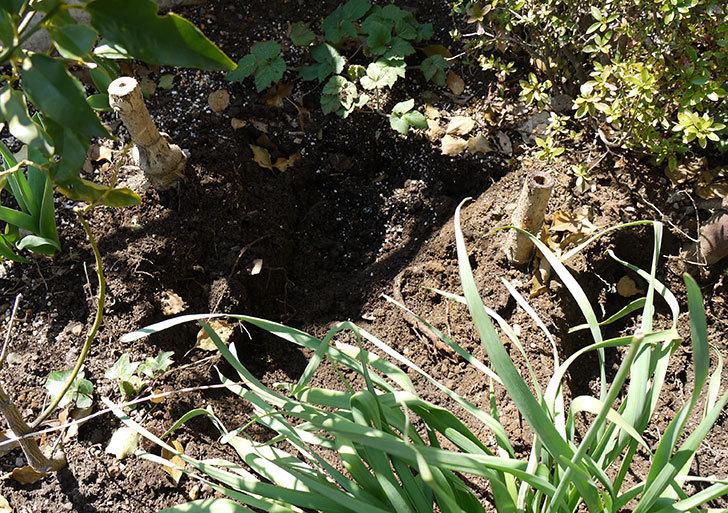 ホトトギスを地植えした。2016年-7.jpg