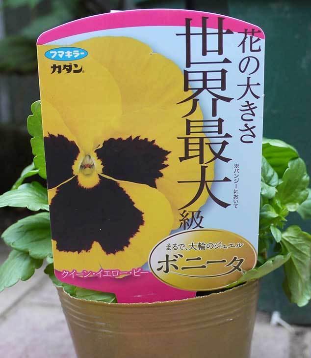 ボニータ(パンジー)がホームズで150円だったので6個買って来た3.jpg