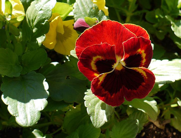 ボニータ(パンジー)オン・ファイアが咲いた。2015年-1.jpg